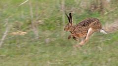 Lièvre d'Europe (Lepus europaeus )-5 (lolo_31) Tags: brownhare lagomorpha lagomorphes leporidae leporidés lepuseuropaeus lièvredeurope mammalia mammals mammifères