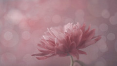 Pretty In Pink (Christopher Lovegrove) Tags: pastel pastels macro macromonday mm flower pink mum bokeh helios 442 extensiontubes