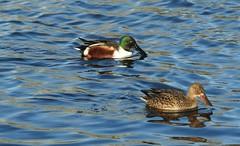 Pair of Shoveler Ducks (blue33hibiscus) Tags: bird waterfowl shoveler duck langfordlakes naturereserve wiltshire