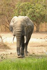 Savanna elephant, Mole National Park, Ghana (inyathi) Tags: westafrica ghana africananimals africanwildlife savannaelephants savannaelephant elephants africanelephants loxodontaafricana molenationalpark africa