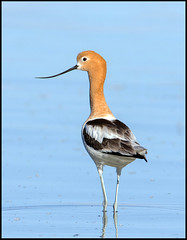 American Avocet (Ed Sivon) Tags: southwest shorebird america canon nature lasvegas wildlife wild western water clarkcounty desert flickr vegas bird henderson nevada