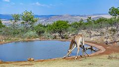 Giraffe drinking at the pond (Tambako the Jaguar) Tags: giraffe drinking water pond trees hills landscape savanna safari lionsafaripark johannesburg southafrica nikon d850