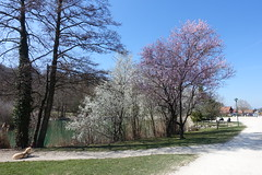 Cherry tree in bloom @ Lac de la Balme de Sillingy @ Hike to Mo (*_*) Tags: 2019 printemps spring march afternoon sunny europe france hautesavoie 74 annecy labalmedesillingy savoie hiking mountain montagne nature randonnée walk marche lac lake flower tree cherry cerisier jura mandallaz