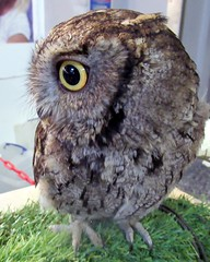 Chester (billnbenj) Tags: barrow cumbria owl westernscreechowl raptor birdofprey