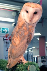 Guinevere (billnbenj) Tags: barrow cumbria owl barnowl raptor birdofprey