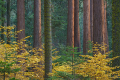 Dancing Among Giants (Willie Huang Photo) Tags: sequoia sequoianationalpark kingscanyonnationalpark trees forest dogwood autumn foliage color yellow red fall landscape nature scenic sierranevada sierra mountains