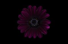 osteospermum (Funchye) Tags: daisy osteospermum flower blomst nikon d750 105mm