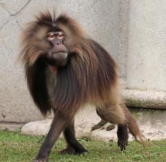 Gelada Blijdorp 094A0659 (j.a.kok) Tags: animal africa afrika aap blijdorp mammal monkey gelada baboon baviaan roodborstbaviaan zoogdier dier primate primaat