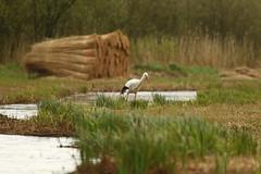 Ooievaar bij Dwarsgracht (NLHank) Tags: nlhank 2019 canon eos 7d mkii eos7d2 7dii holland netherlands vogels birds vogel bird wildlife natuur ooievaar dwarsgracht nature wieden dewieden riet