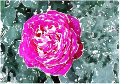 Der du bist von Ewigkeit (amras_de) Tags: rose rosen ruža rosa ruže rozo roos arrosa ruusut rós rózsa rože rozes rozen roser róza trandafir vrtnica rossläktet gül blüte blume flor cvijet kvet blomst flower floro õis lore kukka fleur bláth virág blóm fiore flos žiedas zieds bloem blome kwiat floare ciuri flouer cvet blomma çiçek zeichnung dibuix kresba tegning drawing desegnajo dibujo piirustus dessin crtež rajz teikning disegno adumbratio zimejums tekening tegnekunst rysunek desenho desen risba teckning çizim