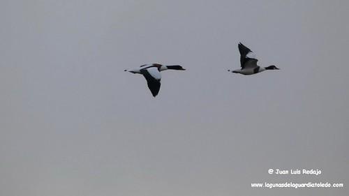 tarros-blancos-vuelo-1 241