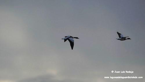tarros-blancos-vuelo-1 165