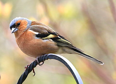 Male Chaffinch (Fringilla coelebs) (Dave Russell (1.3 million views thanks)) Tags: lagg kilmory isle island arran clyde west western scotland ecosse male chaffinch fringilla coelebs bird animal garden nature outdoor photo photography photograph canon eos eos7d 7d