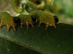 lagartas de besouro (abelhário) Tags: caterpillars lagartas rupsen raupen besouro beetle tor käfer voracidade inseto insecto insekt insekte brazil brazilië brasilien neotropicalinsects