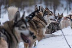 Finnland 2019 (Stefan Giese) Tags: nikon d750 finnland kotahusky husky siberianhusky 28300mm afs28300mmf3556 dog hund huskie hundeschlitten lappland