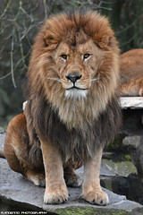 African lion - Olmense Zoo (Mandenno photography) Tags: animal animals dierenpark dierentuin dieren african lion lions leeuw leeuwen olmense olmensezoo olmen bigcat big cat belgie belgium ngc nature natgeo natgeographic cats zoo