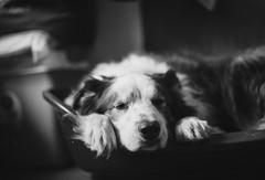 Anthony the Border Collie 🐾 Take a nap (unbunt.me) Tags: meinfilmlab ilfordhp5 analog wwwmeinfilmlabde blackandwhite blackwhite nikonfe film anthony nikon bw dog bordercollie hund