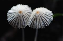 Plooirokje (Hans Heemsbergen) Tags: macro tamronspaf90mmf28dimacro themacrogroup hansheemsbergen nikond7000 mushrooms plooirokje