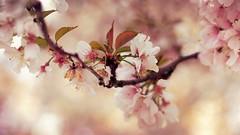 The colours of spring (aadilbricha) Tags: macromondays macromonday pastel blossoms blossom spring nature tamron90mm28 macro sonya7ii