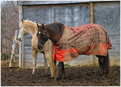 Chester and Zeus (Looking for something to post!!) Tags: canon eos 70d 18135mmstm psp2019 paintshoppro2019 efex topaz topazstudio ancaster ontario canada cabraparkstables horses equine animals farm