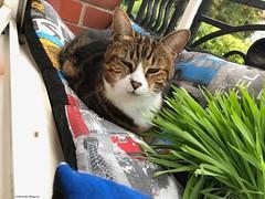 lili-en-mode-repos© (alexandrarougeron) Tags: photo alexandra rougeron lili chat minou chou bébé belle beauté félin féline mignonne