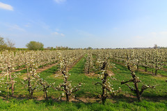 West-Betuwe: blossom time (H. Bos) Tags: rhenoy betuwe westbetuwe lingeroute bloesem blossom voorjaar spring holland typischhollands