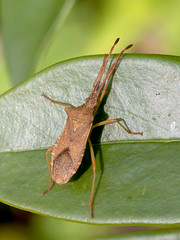 Box Bug (chaz jackson) Tags: boxbug gonocerusacuteangulatus box bug leatherbug coreidae