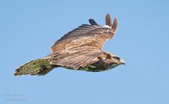 Buizerd Buzzard ButeoButeo (gijs leusink1) Tags: buizerd buzzard buteobuteo natuurfotografie nikonnaturephotography gijsleusink genemuiden vogels roofvogels nikonflickraward