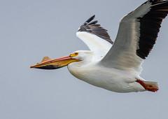 Monona-Bay-Pelican_MFD3186-FLNS-2 (M F Davis) Tags: mononabay madisonwisconsin madison wisconsin bay lake water large bird white flying flight pelican americanwhitepelican monona