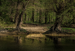 Urige Bäume (KaAuenwasser) Tags: baum bäume weiden urig holz stämme wasser auenwald wald rheinauen auen natur stimmung