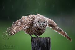 Rain Dance (Megan Lorenz) Tags: burrowingowl owl owlet bird avian birdofprey nature wildlife wild wildanimals florida mlorenz meganlorenz
