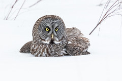 Great Grey Owl in the snow (dwb838) Tags: snow greatgreyowl ngc