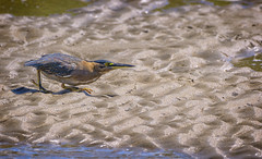 stalker - striated heron #2 (Fat Burns ☮) Tags: striatedheron butoridesstriata waterbird nudgeebeach brisbane queensland australia nikond500 nikon200500mmf56eedvrs nature australiannaturelbird australianbirds fauna australianfauna wildlife australianwildlife outdoors