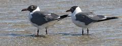 a pair of laughers (Mark.Swanson) Tags: featherfest galveston texas bird gull laughinggull leucophaeusatricilla island beach