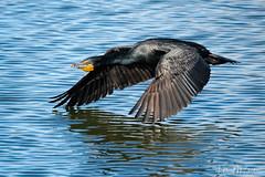 _7HB7166 (Hilary Bralove) Tags: colorado birds wildlife coloradobirds coloradowildlife blueherons cormorants shovelers birdsinflight