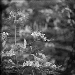 Flores (mavricich) Tags: film foma lomography monocromo monocromático kiev 6c vega flor flores flowers dof