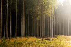 It will find a way (Petr Sýkora) Tags: les forest nature light trees meadow warm