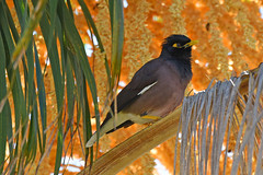 Mynah (bevanwalker) Tags: nikon d750 camera lens 80400mm tree palm queen bird mynah fresh sky time autuum photography outdoor nature wildlife pose beak feathers moment image paradise geographic zealand new birds