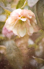 Hellebore (judy dean) Tags: judydean 2019 batsford arboretum flower hellebore texture lensbaby pink velvet56 plants gardens spring