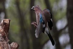 _X5C6188 (carlo612001) Tags: ghianda uccelli natura jay birds nature