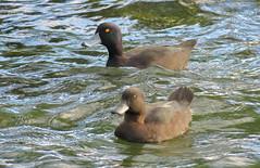 New Zealand Scaup Aythya novaeseelandiae (Neil Cheshire) Tags: newzealandscaup aythyanovaeseelandiae anatidae papango duck bird fuliguledenouvellezélande maoriente porronmaori