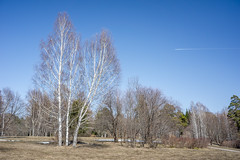 Birch trees (agasfer) Tags: 2019 russia siberia novosibirsk sony a6000 sonye2820 forrest