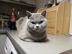 Mia, April 2019 (alljengi) Tags: britishshorthair britishblueshorthair britishshorthaircat cat 2019 mia bluecat