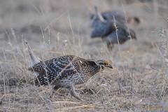IMG_7809 sharptail grouse (starc283) Tags: prairie grouse sharp sharptail starc283 bird birding birds lek mating flicker flickr explore sharptailgrouse