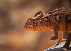 Chameleon (Rod Waddington) Tags: africa afrique afrika madagascar chameleon wild animal wildlife outdoor nature