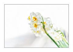 """Narzisse """"Cheerfulness"""" (1) (Pippilotta aus dem Tal) Tags: sel90m28g"""