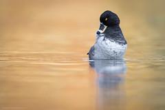 Spring clean up (Khurram Khan...) Tags: ringneckedduck waterfowl wildlifephotography wildlife wild color khurramkhan wwwkhurramkhanphotocom iamnikon ilovenature ilovewildlife