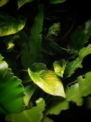 Green Tree Frog (iainwalker) Tags: frog greentreefrog green amphibian leaf leaves display melbourneaquarium shadows melbourne 2019 samsunggalaxy perched camoflage watching