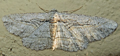 Mountain Mahogany Looper, Iridopsis clivinaria, Tubac, AZ (Seth Ausubel) Tags: geometridae moth ennominae az boarmiini
