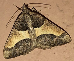 Geometer, Rindgea hypaethrata, Tubac, AZ (Seth Ausubel) Tags: geometridae az moth ennominae macariini